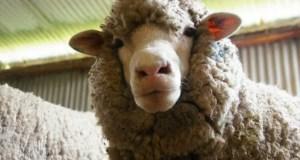 В Крыму стартовал не только курортный сезон, но и сезон... стрижки овец