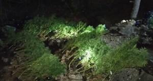 В лесу под Ялтой отец и сын разбили плантацию конопли. У растений были... имена