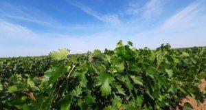 На территории городского округа Судак начата закладка виноградников