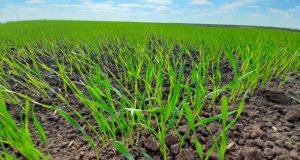 В Красноперекопском районе завершили сев озимых культур под урожай 2021 года