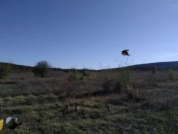 В Крыму «расселяют» фазанов