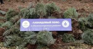 В селе Митрофановка высадят 5 тысяч саженцев лаванды