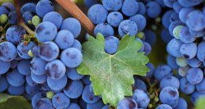 Крымские аграрии повторили рекорд прошлого года по сбору урожая винограда