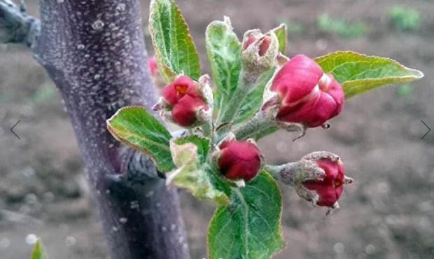 В Крыму инвестор вложит почти полтора миллиарда рублей в яблоневые сады