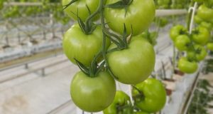 300 тонн с начала года! В Крыму подсчитали январский урожай томатов