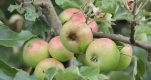 Сочные инвестиции в Крыму: в проект по выращиванию яблок вложат миллиард рублей