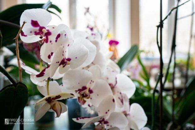 Учёные КФУ планируют размножить редкие крымские орхидеи