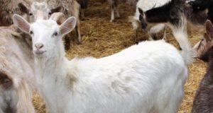 Крымские фермеры примут участие в Российской выставке племенных овец и коз