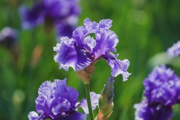 В Ботаническом саду КФУ - массовое цветение ирисов