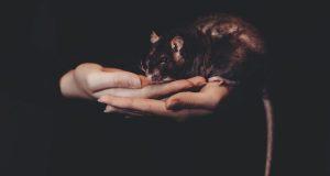 К чему снятся крысы? Мужчинам и женщинам, по дням недели