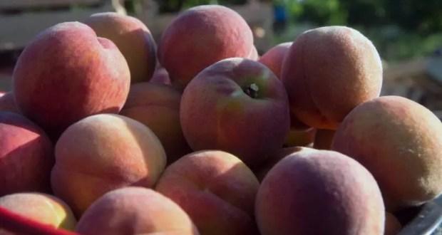В Крыму - хороший урожай персиков