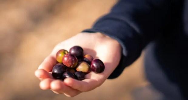 КФУ презентует бренд «Крымская оливка» на национальном конкурсе