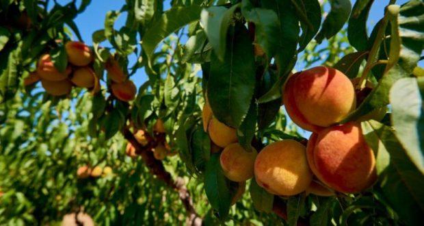 В Севастополе стартовал сбор персиков