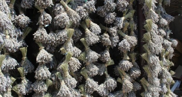 В Крыму собрали более 200 тонн лаванды и порядка 170 тонн шалфея