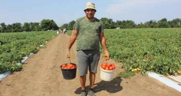 Аграрии Крыма в 2021 году планируют собрать порядка 130 тысяч тонн овощей открытого грунта