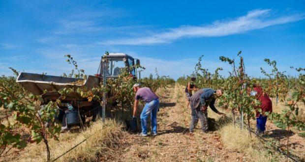 В Севастополе собирают виноград