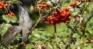 29 сентября – день Ефимии. Ловим певчих птиц