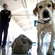 How to Fool A Sniffer Dog