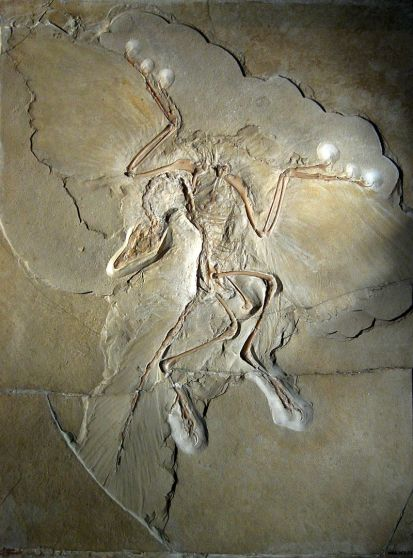800px-Archaeopteryx_lithographica_(Berlin_specimen)