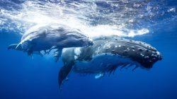 Ballenas movilizan alrededor de 168 millones de USD en las últimas horas
