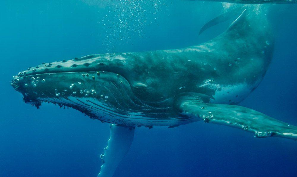 Actividad semanal de las ballenas Bitcoin en noviembre