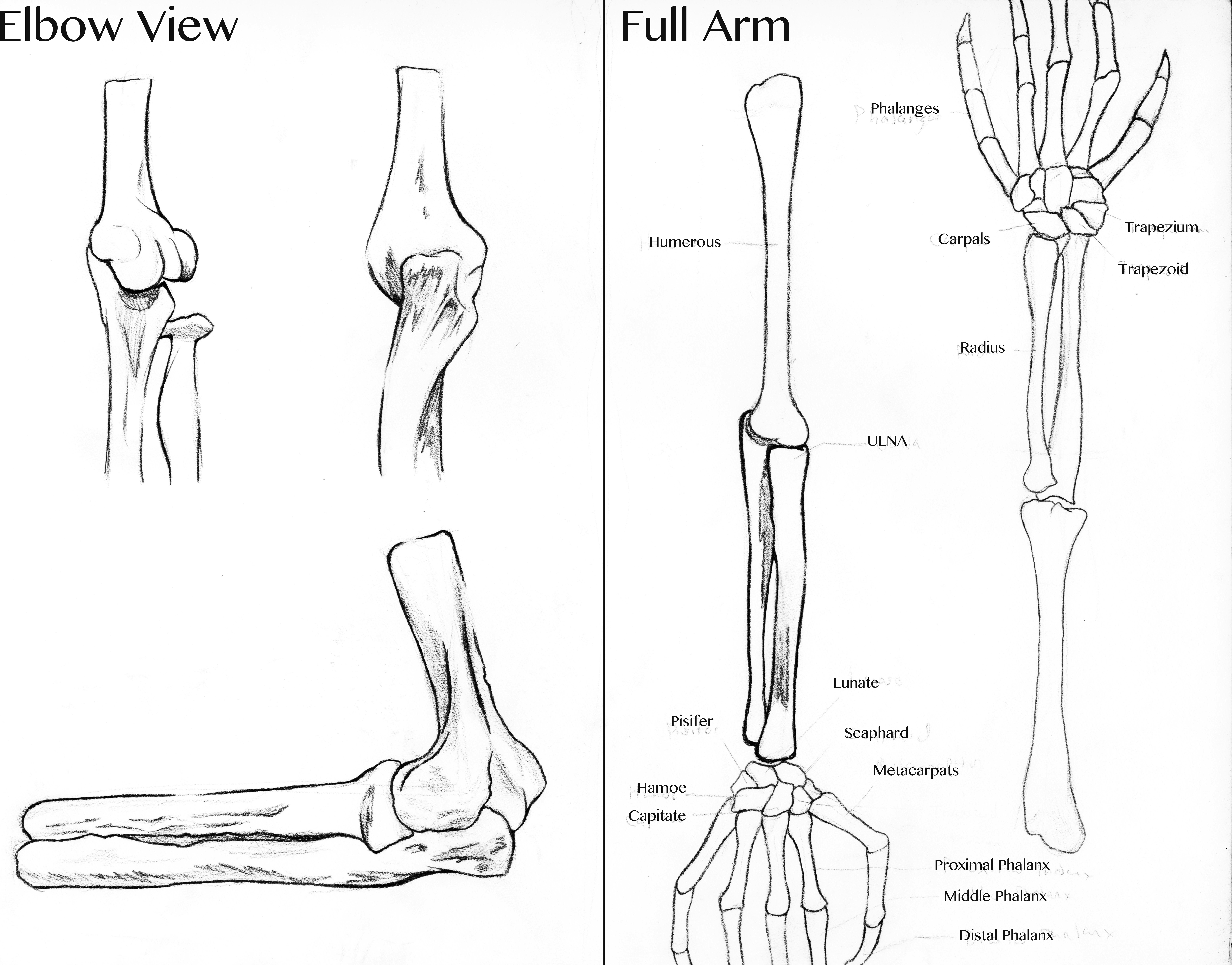 Skeleton Of Full Arm And Elbow