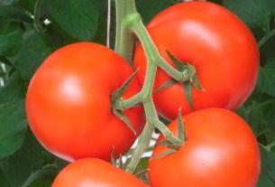 томаты,помидоры,невкусные