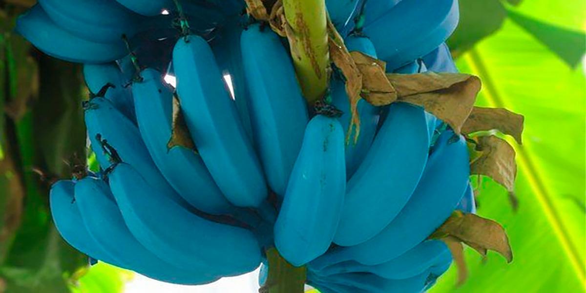 синий банан,Blue Java,ванильный банан,банан мороженое,Гавайи,Аризона