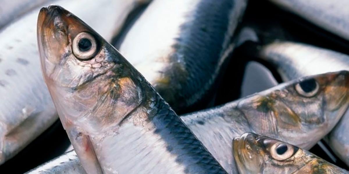 Иваси,рыба,Китай,экспорт