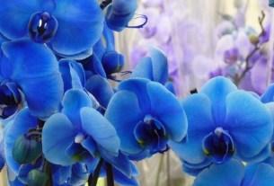 голубая орхидея,шоколад