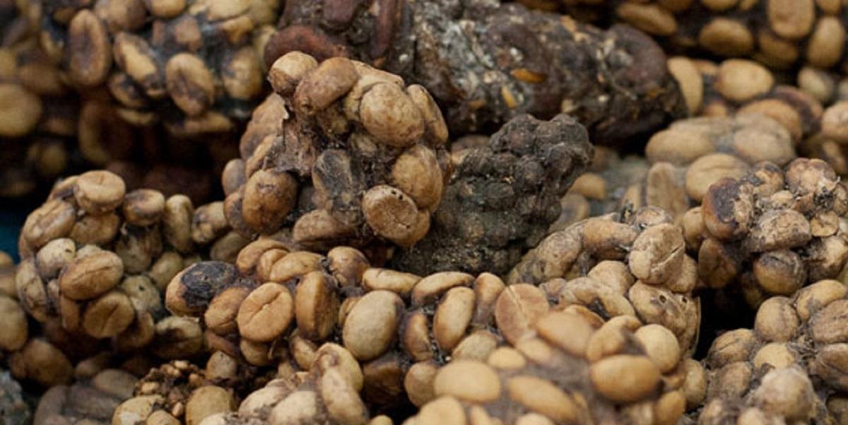 цивета,«Копи Лувак»,кофе,кофе из попы,Индонезия