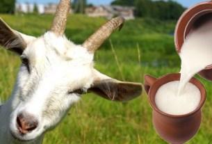 Козье молоко, Великобритания