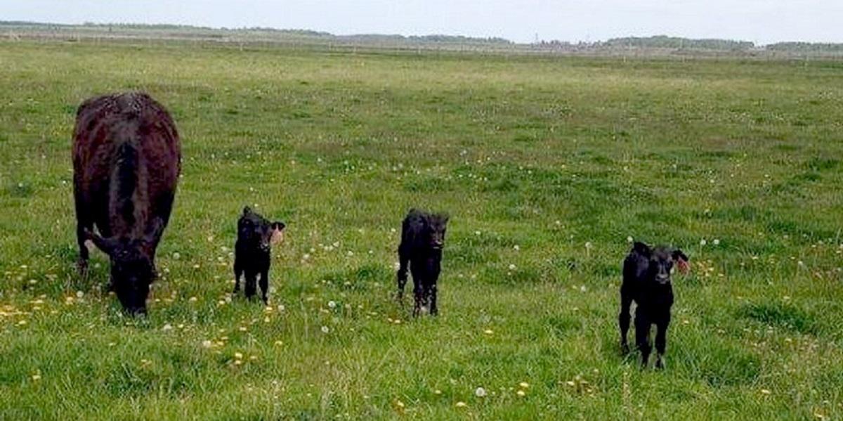 корова, ферма, «Брянская мясная компания», агрохолдинг «Мираторг»