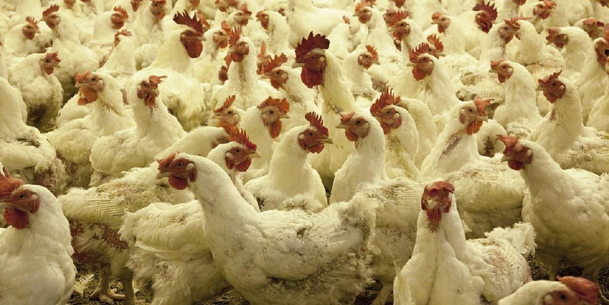 Коронавирус, Белгородская область, птицефабрика, «Куриное царство»