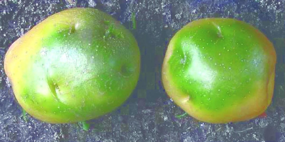 Роскачество, токсины,Соланин, зеленая кожура,картофель