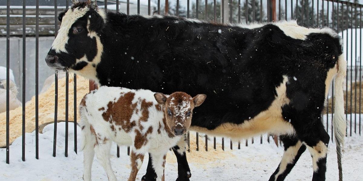 якутская порода, корова из Якутии, уникальные качества, морозостойкость