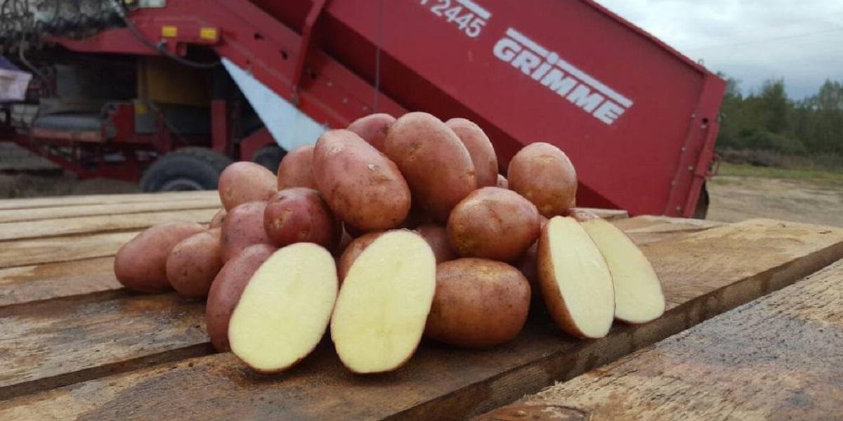 картофель,биобезопасность, польза картофеля