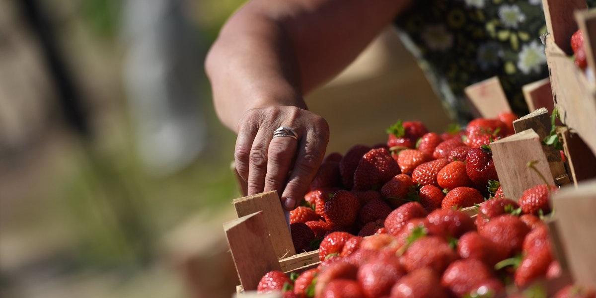 клубника,Подмосковье, Непецино, «Русская ягода», урожай 2020
