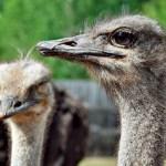Сибирь, страусиная ферма, жара, африканские страусы