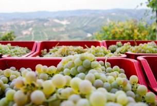 «Фанагория», «рубиновый Магарача», виноград, советский сорт