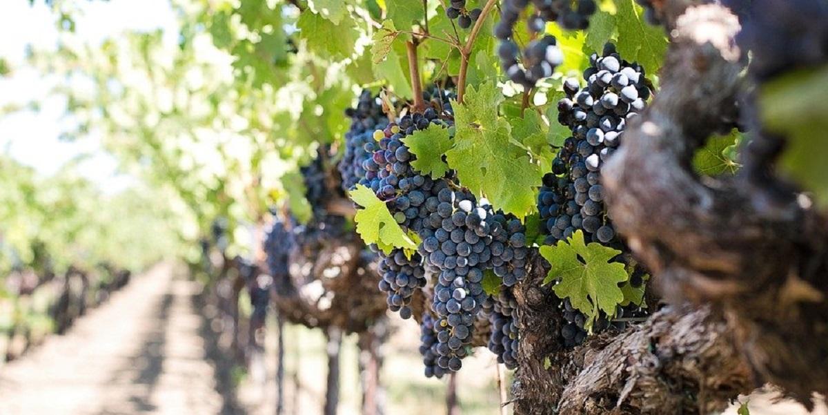 «Абрау-Дюрсо», виноградники