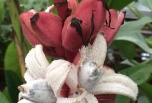Ботанический сад МГУ, «Аптекарский огород», розовые бананы