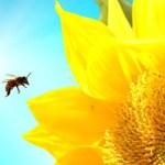 Пчёлы, подсолнухи