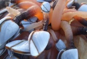 персебес, морские уточки, деликатес