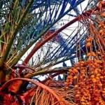 Сочи, «желейная» пальма, урожай