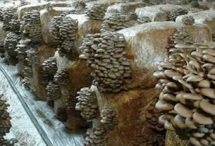 полезные вешенки, грибы, кофейная гуща, Италия, Funghi Espresso