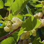 шелковица, белая шелковица, белая ягода, саженцы шелковицы
