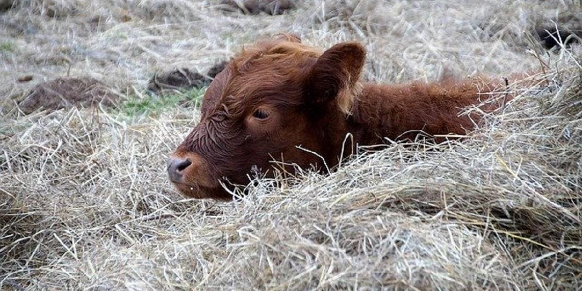 корова, новая разработка, Метод низкоинтенсивного лазерного облучения