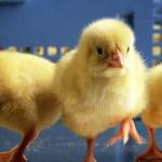 США (ARS), кормовая добавка, сальмонелла, куриное мясо