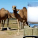 Верблюжье молоко. туберкулез, Астрахань, лекарство, лактоферрин